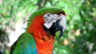 Macaw Red Green video