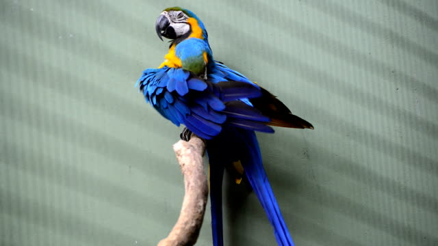 macaw sitting on branch video