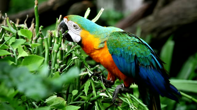 macaw video