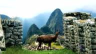 Machu Picchu - View From Behind Lama video
