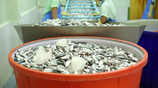 mackerel fish can process line production video