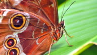 4K Macro Brown Butterfly Close Up, Antenna and Leaf video