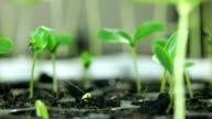 Macro close up, Timelapse of growing bean seeds growing, UHD 4k. video