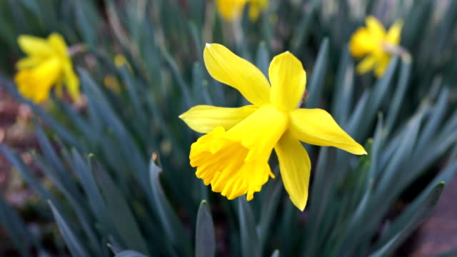 Macro closeup of one yellow daffodil in green grass home garden during spring video