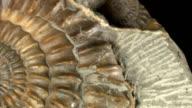 Macro dolly: Jurassic Ammonite on black video