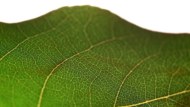 Macro Flyover of a leaf video
