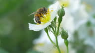 Macro of a bee pollinating a white flower video