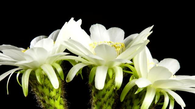 Macro of Cactus Blooming video