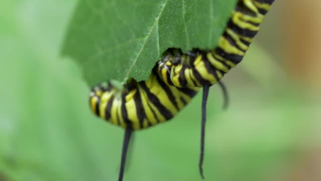 Macro of Caterpillar eating leaves video