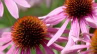 macro of coneflower - purple (echinacea) video