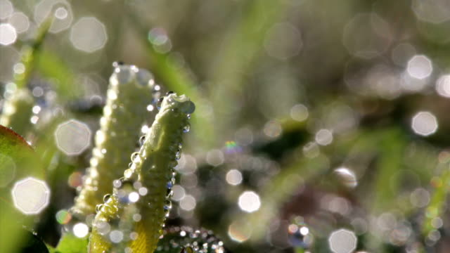 Macro of Morning Flowers Opening Up Covered in Dew video