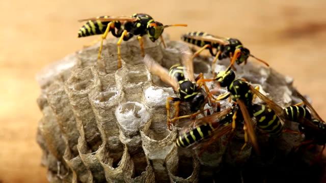 Macro of wasp video
