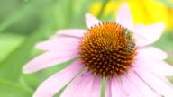 Macro shot: bee on a flower video