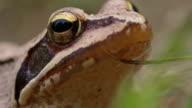 Macro shot of a brown frog video