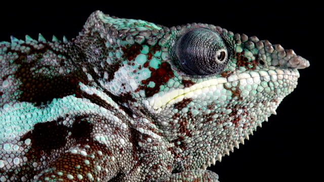 Macro Shot Of A Chameleon video