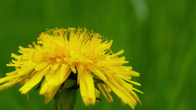 Macro shot of a dandelion video