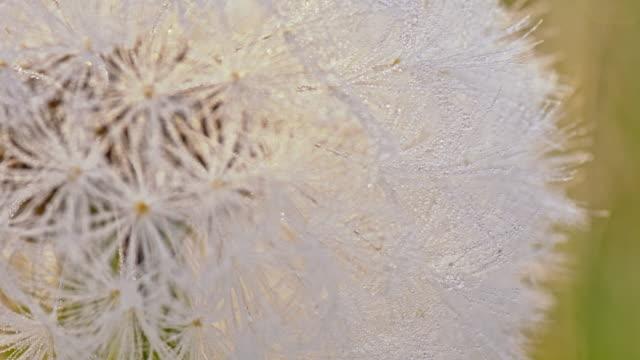 R/F Macro shot of a silverpuff video