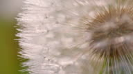Macro shot of a white dandelion video