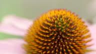 macro shot of cone flower - echinacea video