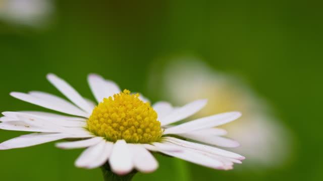 Macro shot of daisy flower head video