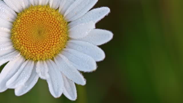 Macro shot of dew on the oxeye daisy video