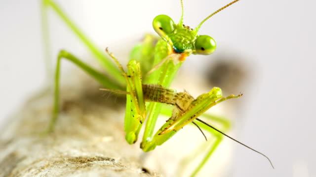 Macro shot of Praying Mantis eating a cricket video