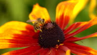 Macro super slow motion shot of bee crawling on yellow flower and flying away. 250 fps video