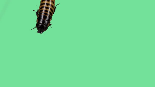 Madagascar hissing cockroach on green screen video