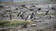 Magellanic penguins video