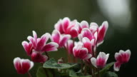 magenta and white cyclamen flowers video