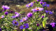 Magenta asters flowerbed at the wind, slow motion video