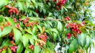 Magenta Cherry, Syzygium Paniculatum video