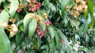 Magenta Cherry Tree video