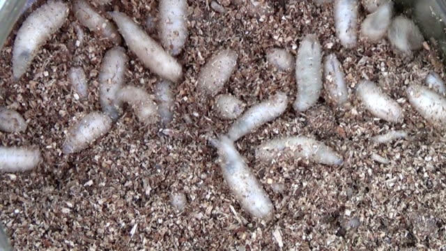 Maggots of fly - bait for fishing video