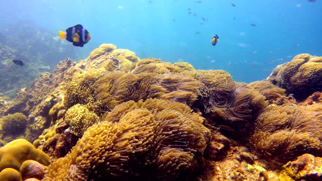 Magnificent Anemone (Heteractis magnifica) aka Ritteri Anemone, with Clark's Anemone Clownfish (Amphiprion clarkii) video