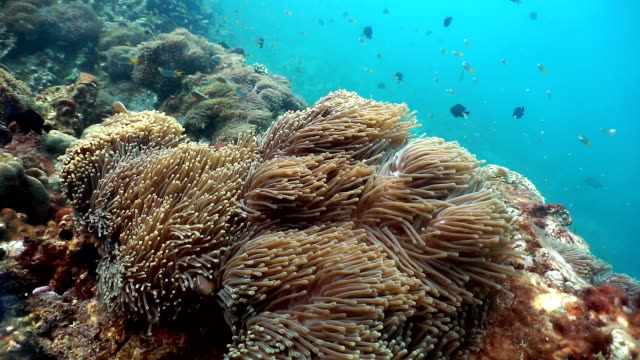 Magnificent Anemone (Heteractis magnifica) aka Ritteri Anemone, with Skunk Anemonefish (Amphiprion ephippium) Clownfish video
