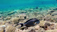 Magnificent snorkeling in the red sea. Sail on corals with lots of exotic fish. Fish surgeons swim past, flirt with each other video