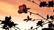 HD: Magnolia at Sunset video