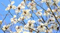 Magnolia blossom tree video