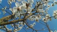 HD DOLLY: Magnolia Blossom video