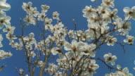 HD: Magnolia Blossom video