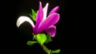 Magnolia flower growing timelapse video