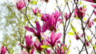 Magnolia flowers on tree branch video