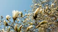 Magnolia flowers video
