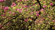 Magnolia, spring flowers video