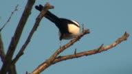 Magpie bird on tree branch video