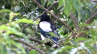 Magpie cleans plumage on left wing video