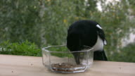 Magpie (Pica-pica) feeding 2 video