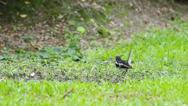 magpie robin eating food video
