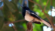 Magpie robin video